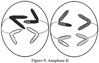 Meiosis 2 Anaphase 2