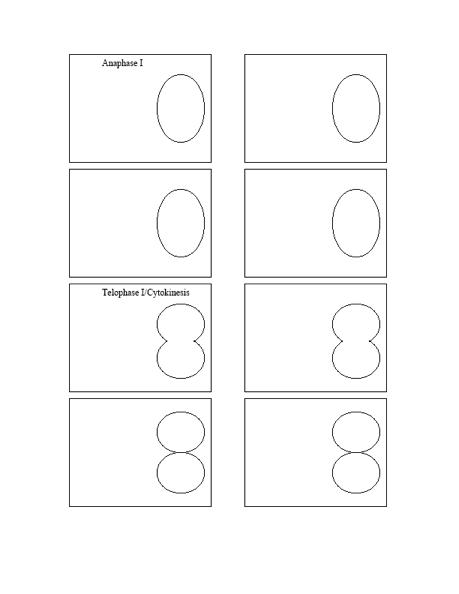 Mitosis Flip Book Template. mitosis and meiosis flip book. onion ...