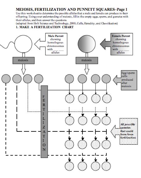 Printables Meiosis Worksheet meiosis worksheet imperialdesignstudio part ii